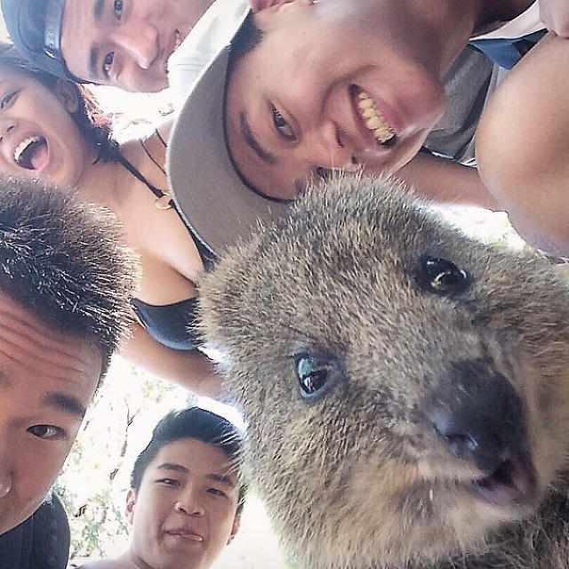 3043078-inline-quokka-selfie-trend-cute-rodent-australia-4605